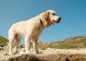 Perro perdiguero de oro en la costa. — Foto de Stock