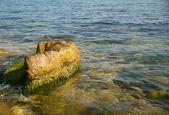 Yeşil deniz yosunu ile büyük bir taş. — Stok fotoğraf