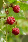 野生树莓软焦点. — 图库照片