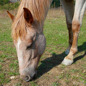 Grazing horse. — Stock Photo