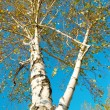 Fall birch with blue sky. — Stock Photo