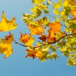 Yellow fall leaves. — Stock Photo #7720736