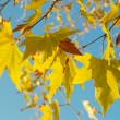 Yellow fall leaves. — Stock Photo #7721189