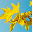 Yellow fall leaves. — Stock Photo