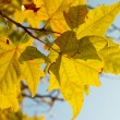Yellow fall leaves. — Stock Photo #7722036