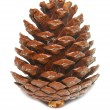 Stock Photo: Brown pine cone isolated on white.
