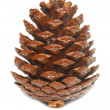 图库照片: Brown pine cone isolated on white.