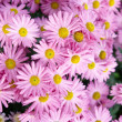 Stock Photo: Sweet pink chrysanthemums.