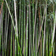 Green zen bamboo. - Stock Photo