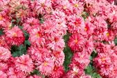 Field of pink chrysanthemums. — Stock Photo