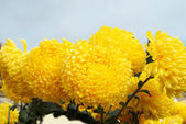 Yellow chrysanthemums with blue sky. — Stock Photo
