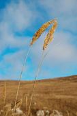 Yellow feather grass with blue sky. — Stock Photo