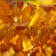 Royalty-Free Stock Photo: Autumn time: yellow beautiful maple leaves