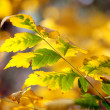 Autumn time: yellow beautiful maple leaves — Stock Photo #7643174