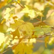 Autumn time: yellow beautiful maple leaves — Stock Photo