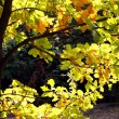 Autumn time: yellow beautiful maple leaves — Stock Photo #7643308