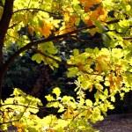 Autumn time: yellow beautiful maple leaves — Stock Photo