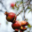 Ripe colorful pomegranate fruit on tree branch — Stock Photo