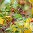 Autumn time: red wild rose hips — Stock Photo