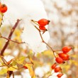 Stock fotografie: Autumn time: red wild rose hips under snow