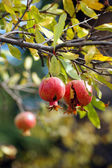 Ripe colorful pomegranate fruit on tree branch — Stok fotoğraf