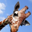 Nice giraffe — Stock Photo