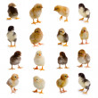 Set of chickens — Stock Photo