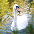 Beautiful swan on the river — Stock Photo