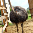 Beautiful ostrich — Stock Photo