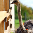 Beautiful ostrich — Stock Photo #6987086