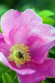 Briar piękny kwiat — Zdjęcie stockowe