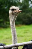 Beautiful ostrich — Stock Photo