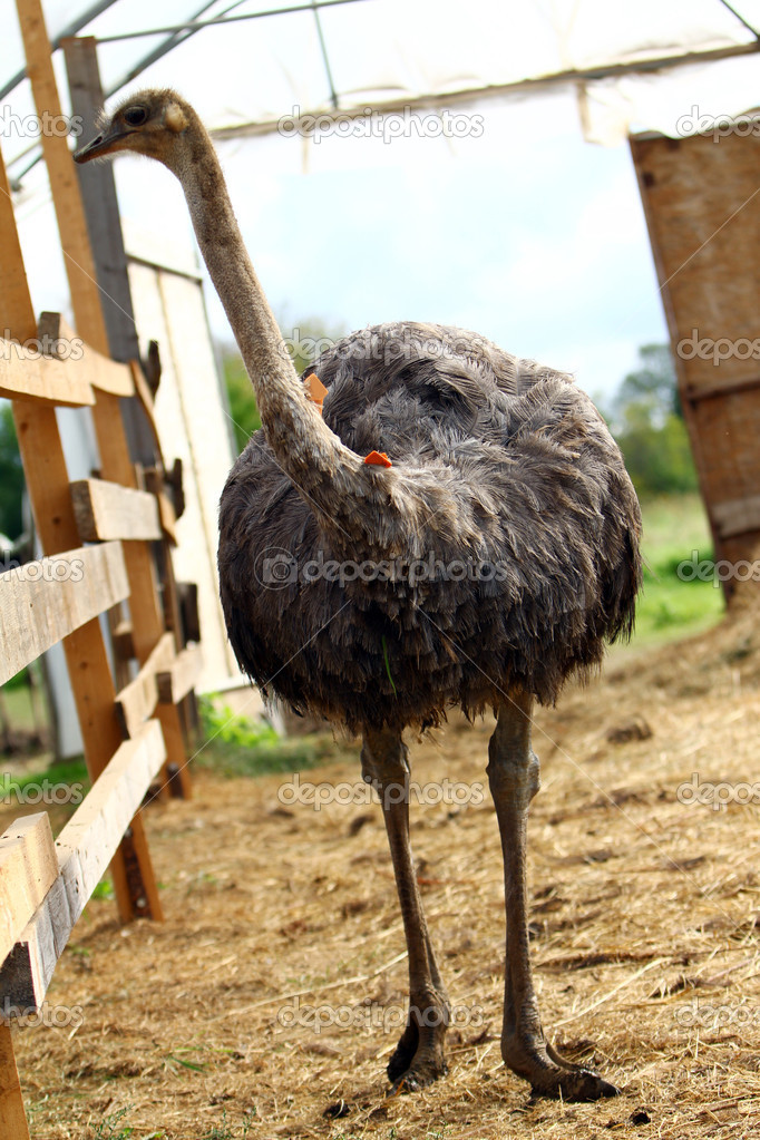 Beautiful ostrich at the farm — Stock Photo #6987084