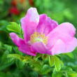 Beautiful briar flower - Stock Photo