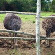 Stock Photo: Beautiful ostriches