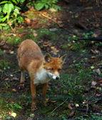 Beautiful red fox — Stock Photo