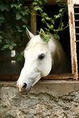 красивая белая лошадь — Стоковое фото