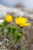 Schöne Blumen von adonis — Stockfoto