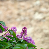 Beautiful branch of lilac — Stock Photo