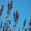 Stock Photo: Sprigs of lavender