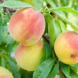 Peach on a branch — Stock Photo #7421581