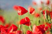 Belles fleurs de coquelicot rouge — Photo