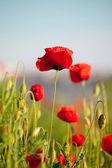 Lindas flores de papoula vermelha — Foto Stock