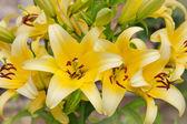 Beautiful flowers of yellow lilies — Stock Photo