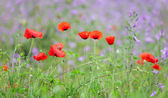 Red poppies — Photo