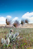 Pulsatilla patens — Stock Photo