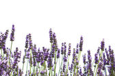 Purple lavender flowers — Stock Photo