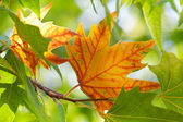 The first autumn maple leaf — Stock Photo