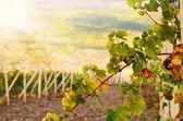 Grape twig — Stock Photo