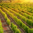Stock Photo: Sunset over a vineyard
